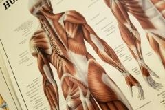 Anatomische poster van de spieren op de rug