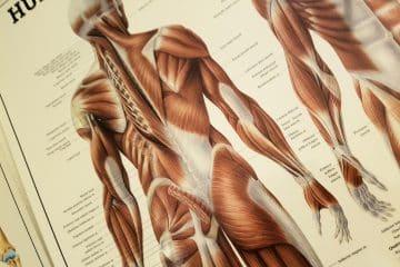 Anatomische afbeelding van de spieren op de rug en de bil